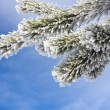 Snow covered pine twig — Stockfoto