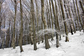 Winter in beech forest — Stock Photo