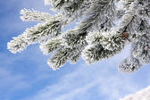 Snow covered fir twig — Stock Photo