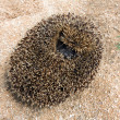 Hedgehog — Stock Photo #4880086