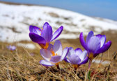 Nice crocuses — Stock Photo