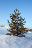 Pine on snowy field — Stock fotografie