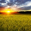 Stock Photo: Sunset over crop field