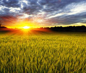 Sunset over crop field — Stock Photo