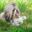 Shih Tzu — Stock Photo #4015336