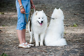 Two samoyed dogs — Stock Photo