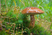 Large ripe Boletus mushroom — Stock Photo