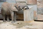 Elefant på zoo — Stockfoto