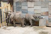 éléphants dans un zoo — Photo