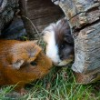 Two guinea pigs met — Stockfoto