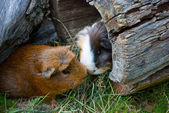 Two guinea pigs met — Stock Photo