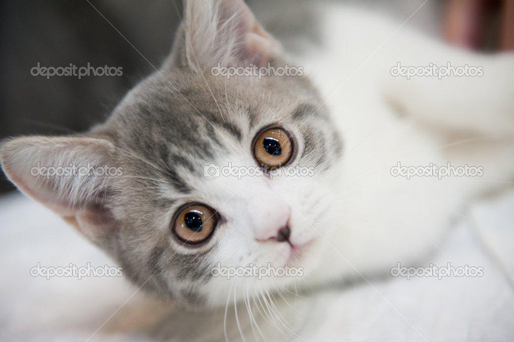 Closeup portrait of the muzzle of pedigree kitten — Stock Photo #5249715