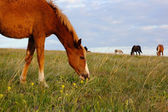 Herd of horses pasturing on the meadow — Stock Photo