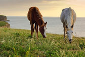 Horses grazing on the meadow — Stock Photo