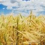 Ears of ripe wheat — Stock Photo #4719503