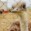 Ostrich farm — Stock Photo