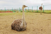 Ostrich farm — Stock Photo