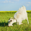 Goat grazing on a meadow — Stock Photo