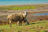 Ship and lamb pasturing — Stock Photo