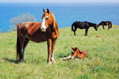 Horses pasturing on meadow near the sea — Stock Photo