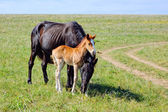 A horse with a foal on the meadow — Stock Photo
