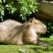 Foto de Stock  : Capybar- largest living rodent in world
