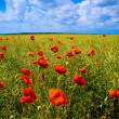 Stock Photo: Beautiful field with numerous poppies