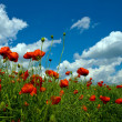 Numerous red poppies on green field — Stockfoto