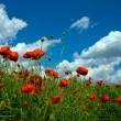 Numerous red poppies on green field — Stock Photo