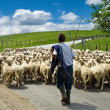 Shepherd with his sheep herd — Stock Photo #4942834