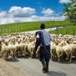 Shepherd with his sheep herd - Stock Photo