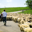 Shepherd with his sheep herd — Stock Photo #4943194