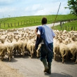 Shepherd with his sheeps — Stock Photo