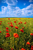 Beautiful field with numerous poppies — Stock Photo