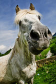 White horse making a funny face — Stock Photo