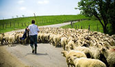 Shepherd with his sheep herd — Stock Photo