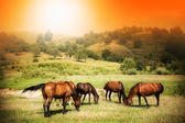 Wild horses on green field and sunny sky — Stock Photo