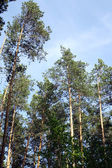 The pine forest — Stock Photo