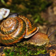 Small snail goes astride the big. — Stock Photo