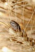 Bug on wheat ear. — Stock Photo