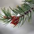Evergreen Branch — Stock Photo #4091784