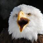 American Bald Eagle — Stock Photo #4091793
