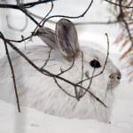 Snowshoe Hare — Stock Photo #4091803