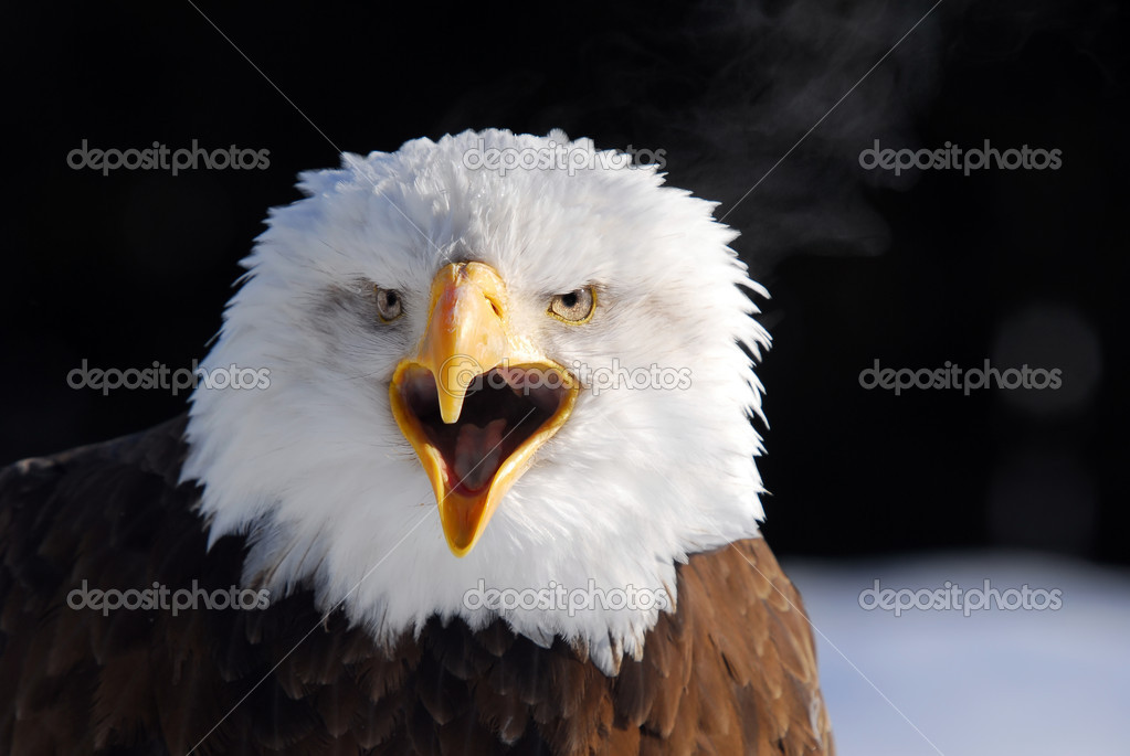 Close-up picture of a Screaming American Bald Eagle  — Stock Photo #4091676