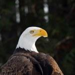 American Bald Eagle — Stock Photo #4424393
