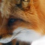 Red Fox — Stock Photo