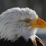 American Bald Eagle — Stock Photo #4424533