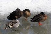 Ducks on Ice — Stock Photo