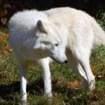 Arctic Wolf — Stock Photo #4599979