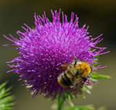 Bee and thistle — Stockfoto